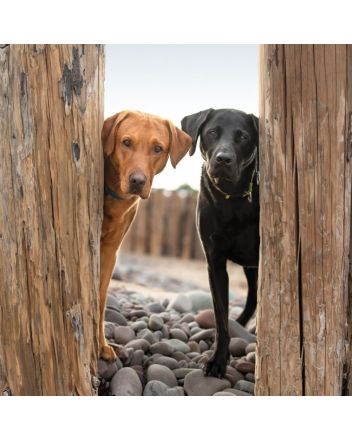 BBC Countryfile Black and Golden Labradors Photographic Greeting Card