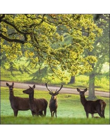 National Trust Red Deer Greeting Card