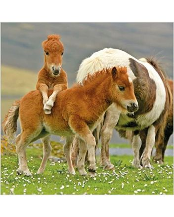 BBC Countryfile Shetland Ponies Photographic Greetings Card